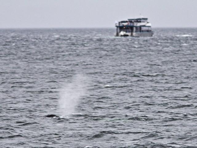 Humpback Whale 20140617