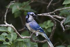 sparrow(0.0), flower(0.0), green jay(0.0), emberizidae(0.0), brambling(0.0), animal(1.0), branch(1.0), nature(1.0), fauna(1.0), blue jay(1.0), beak(1.0), bird(1.0), wildlife(1.0),