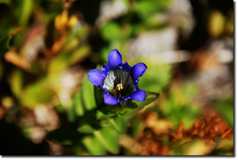 Mountain Gentian 2