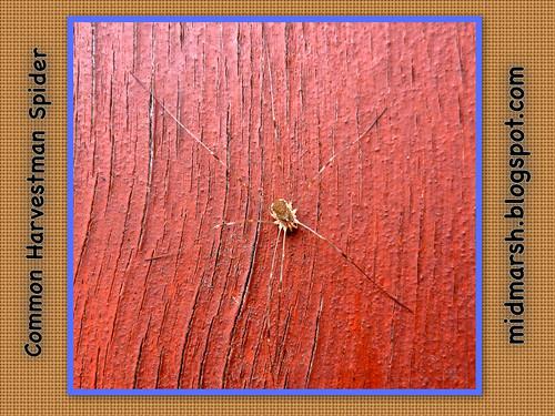 Harvestman Spider 01