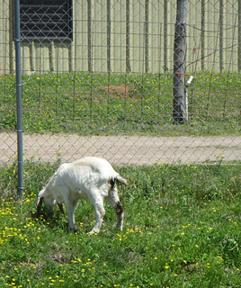 Picture of a goat grazing