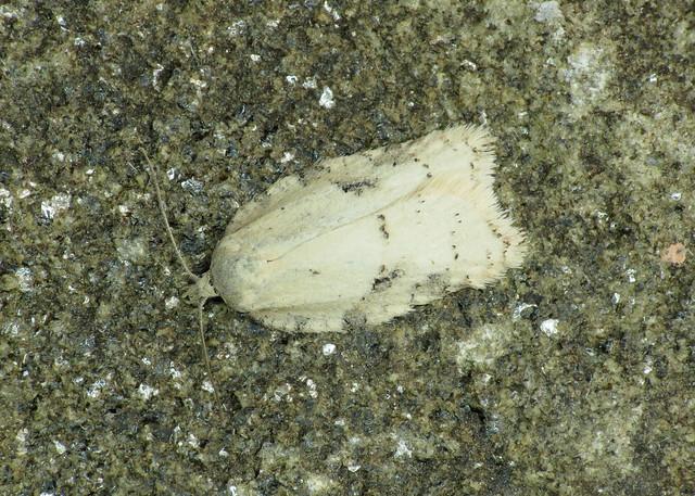 1051 Acleris logiana