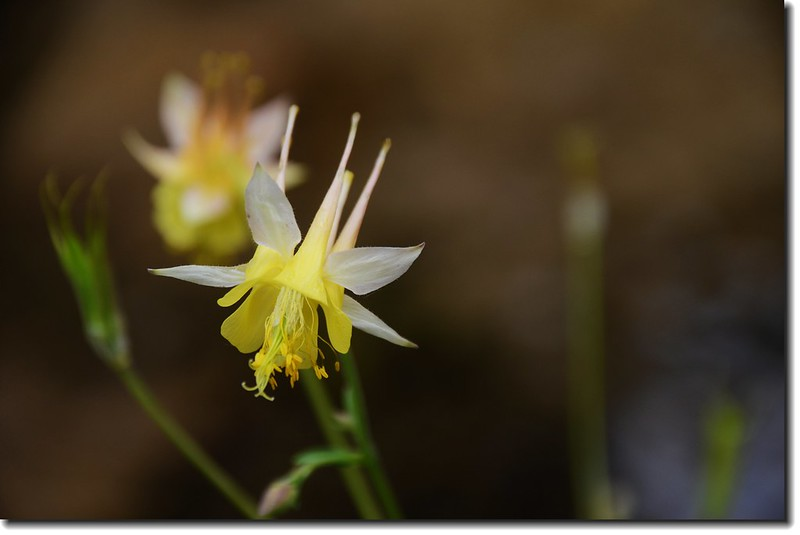 Yellow columbine flower 1