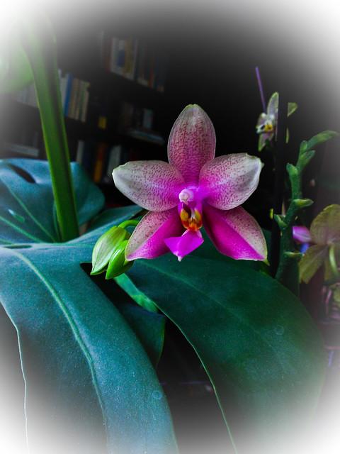 Phalaenopsis Liodoro! - Seite 3 14699341252_89ee8b2288_z