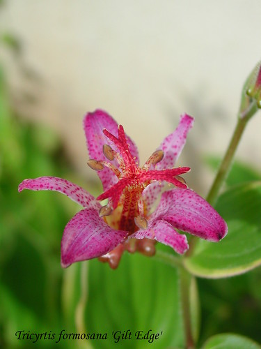 Tricyrtis formosana 'Gilt Edge'