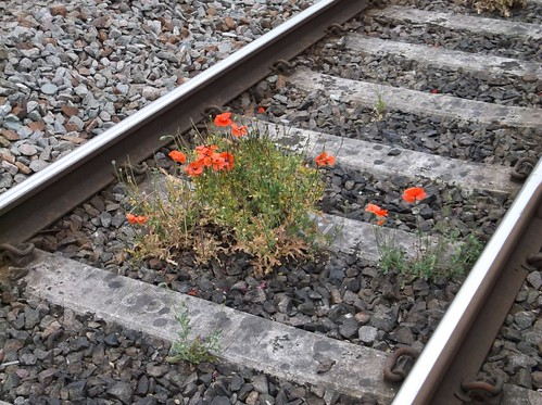 Poppies in the trackwork