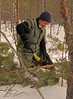 Pine trees are cleaned from branches using an axe or a saw