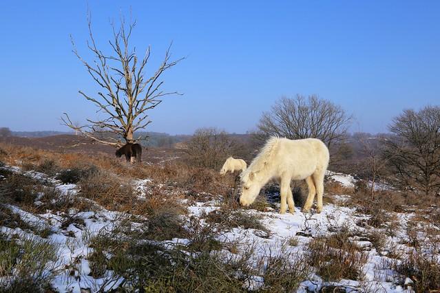 Wild Icelandic horses grazing at the Veluwezoom