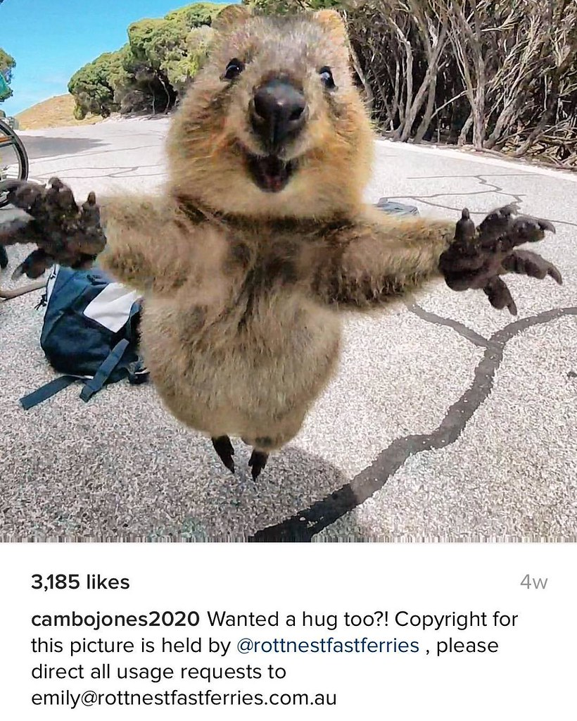 The #CUTEST photo I've seen in forever! #quokka jump! Copyright @rottnestfastferries Pic by @cambojones2020 -- #cuteattack #quokkalove #australiawillkillyou