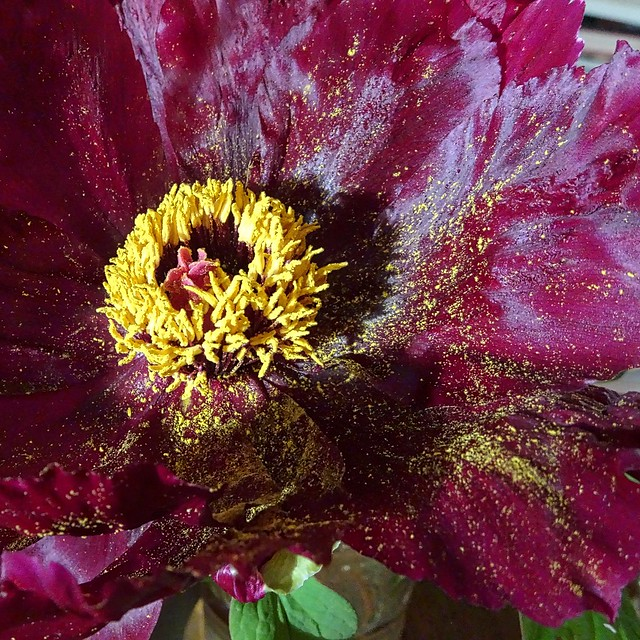 Tree Peony flower, Sony DSC-HX90V, Sony 24-720mm F3.5-6.4