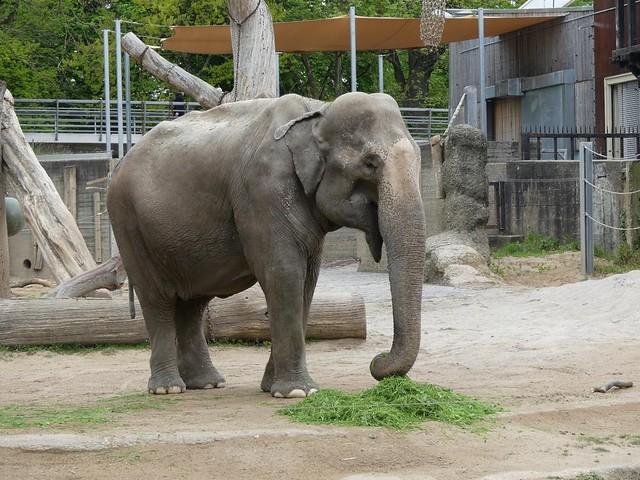 Elefant Rani, Zoo Karlsruhe