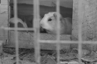 Cuy (Guinea Pig) Peru Diafragma Abierto