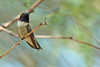 Black-chinned Hummingbird, showing purple collar