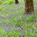 English Bluebells