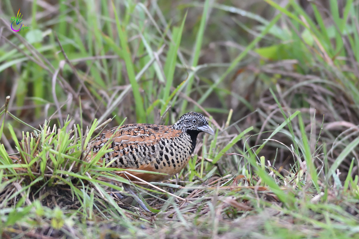 Barred_Buttonquail_1977