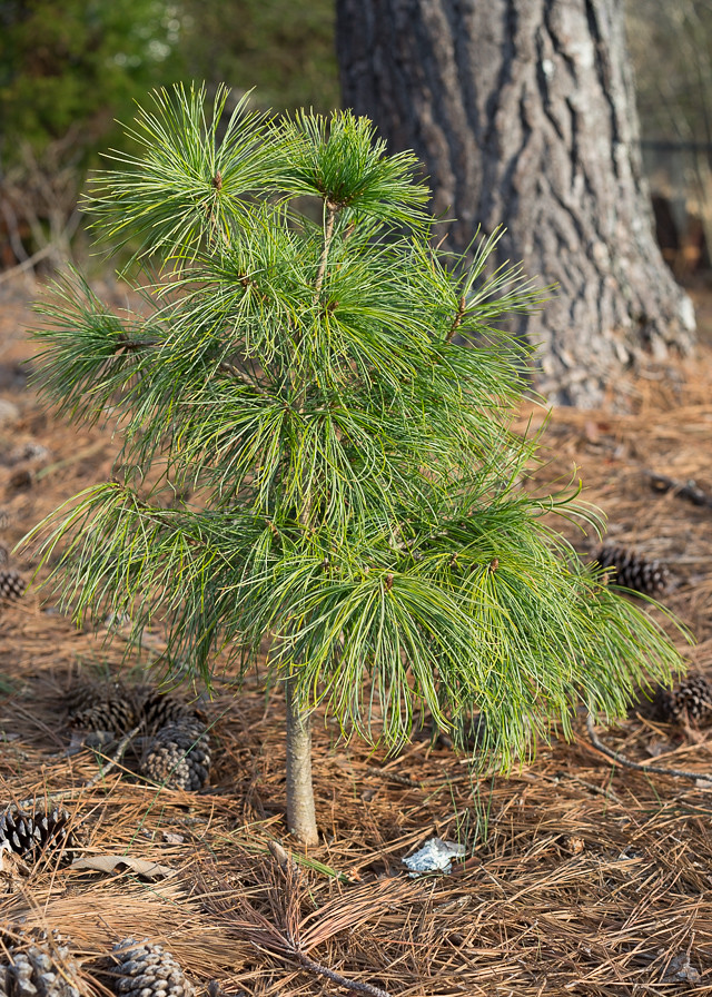 Pinus koraiensis 'Dragon's Eye'