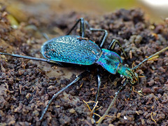 Blue Ground Beetle (Carabus intricatus) individual form