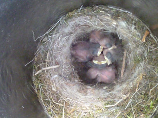 baby birds in a nest