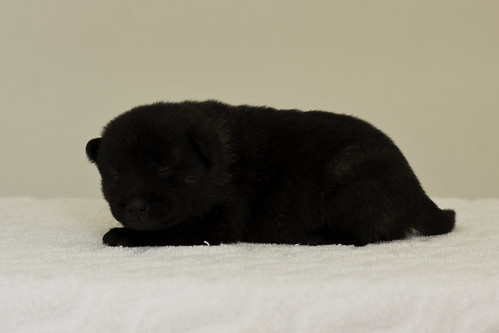 Ayui-Litter4-Day20-Puppy6-Male-d