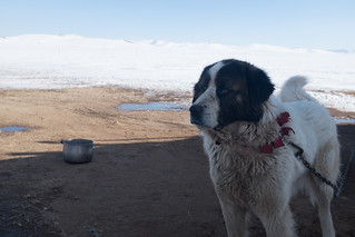 Dogs of Mongolia
