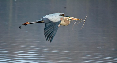 Nest Building Heron 2