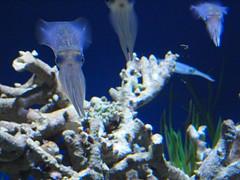 Reef Squid, beautiful photophore patterns P4181265