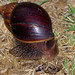 Small photo of Panther Agate Snail (Achatina immaculata)
