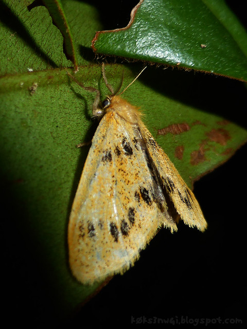 Santubong 23 Moth from Nygmiini Tribe, Genus Nygmia or Rhypotoses