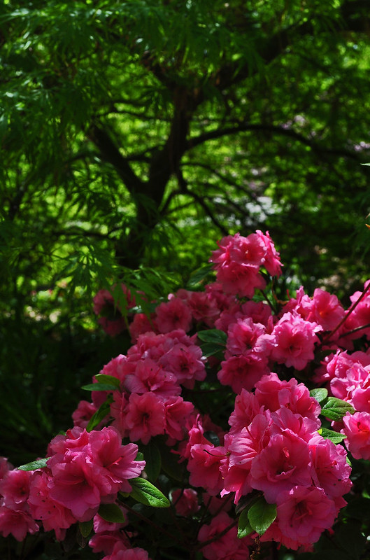 Rhododendron 'Double Pink #2' (5)