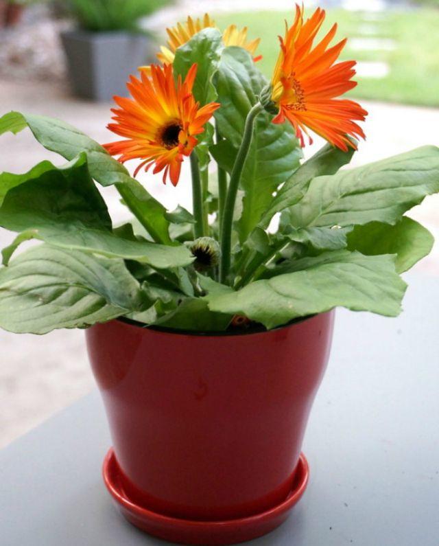 1plantas Gerbera-daisies.jpg