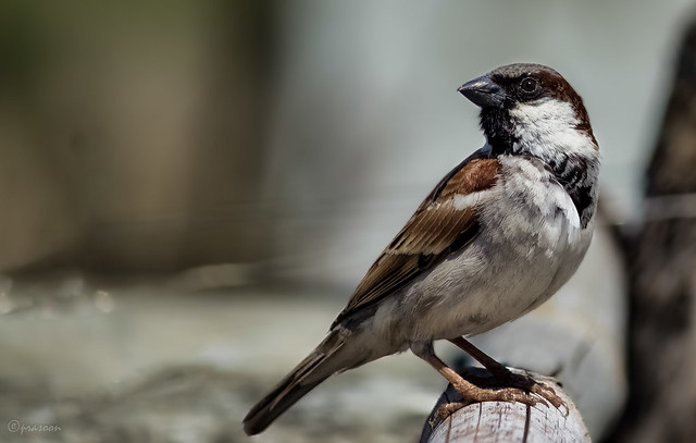 The Gravitas look of a House Sparrow (Male)