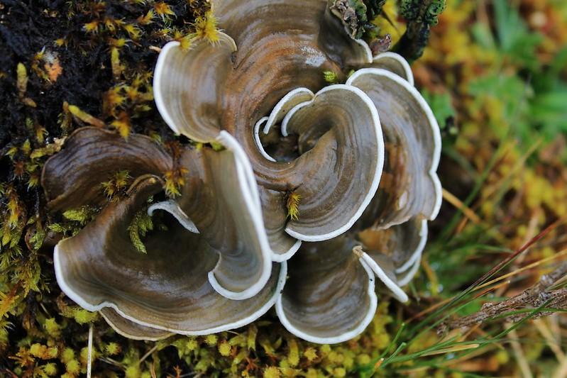 Fungus near Huantsan