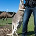 Marisa feeding a grey kangaroo with joey in pouch by Wade Tregaskis