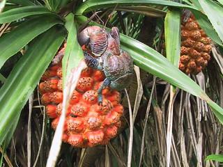珍貴的椰子蟹。(攝影:陳超仁;林務局提供)