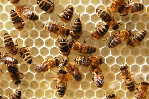 Bienen Imkerei Wachs Wachsproduktion Wabe Waben Honigwabe Wachswabe Brigitte Stolle Imkerin