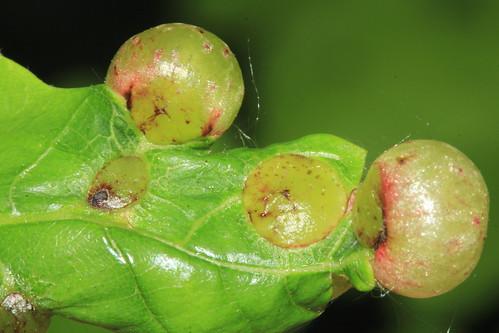 Oak Currant Gall 28559