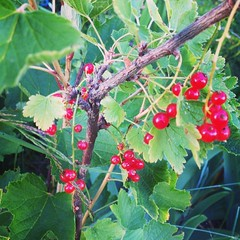 evergreen, berry, tree, fruit, currant, schisandra,