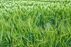 Summer crops 1