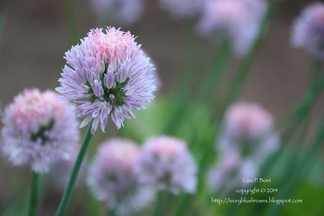 2014.06.01ChiveBlossoms01
