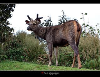 Sri Lankan Sambar Deer