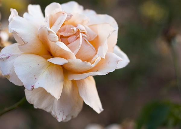 rose garden tel aviv, rose, גן הורדים פארק הירקון תל אביב