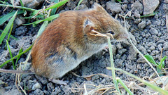 animal, grass, rodent, pet, nature, mouse, fauna, gerbil, wildlife,