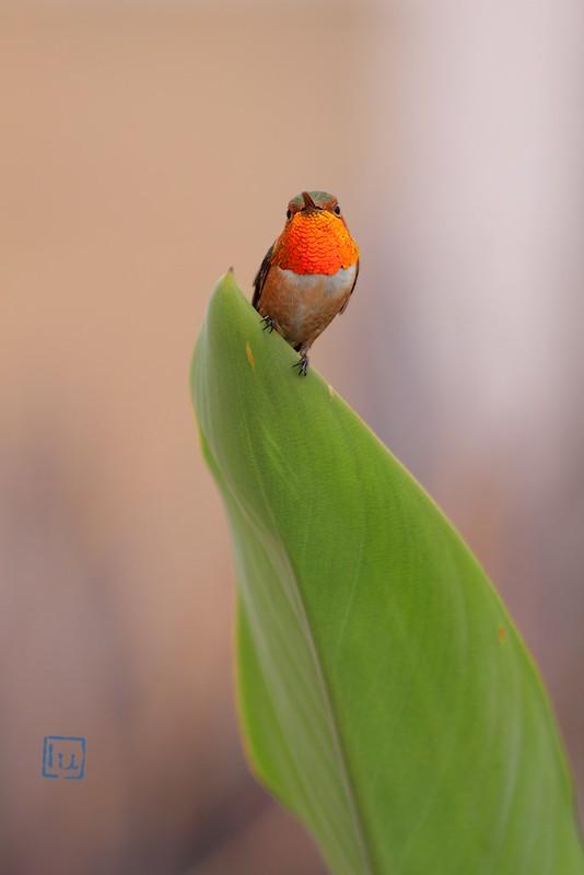 Allen's Hummingbird 110614