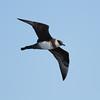 Pomerine Skua (Stercorarius pomarinus) by TG23-Birding in a Box