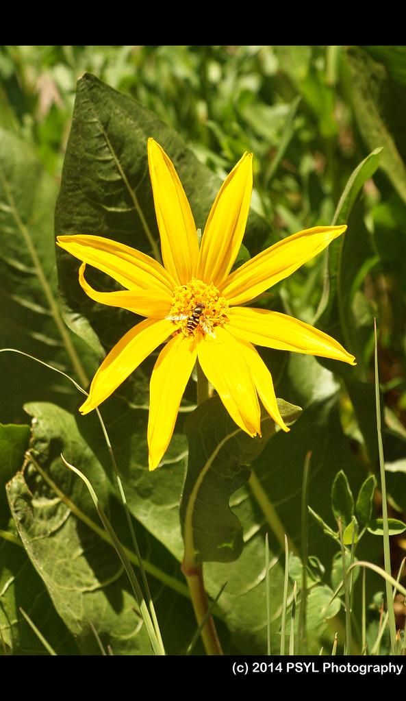 Mule Ears Sunflower (Wyethia amplexicaulis)