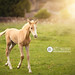 Palomino Filly