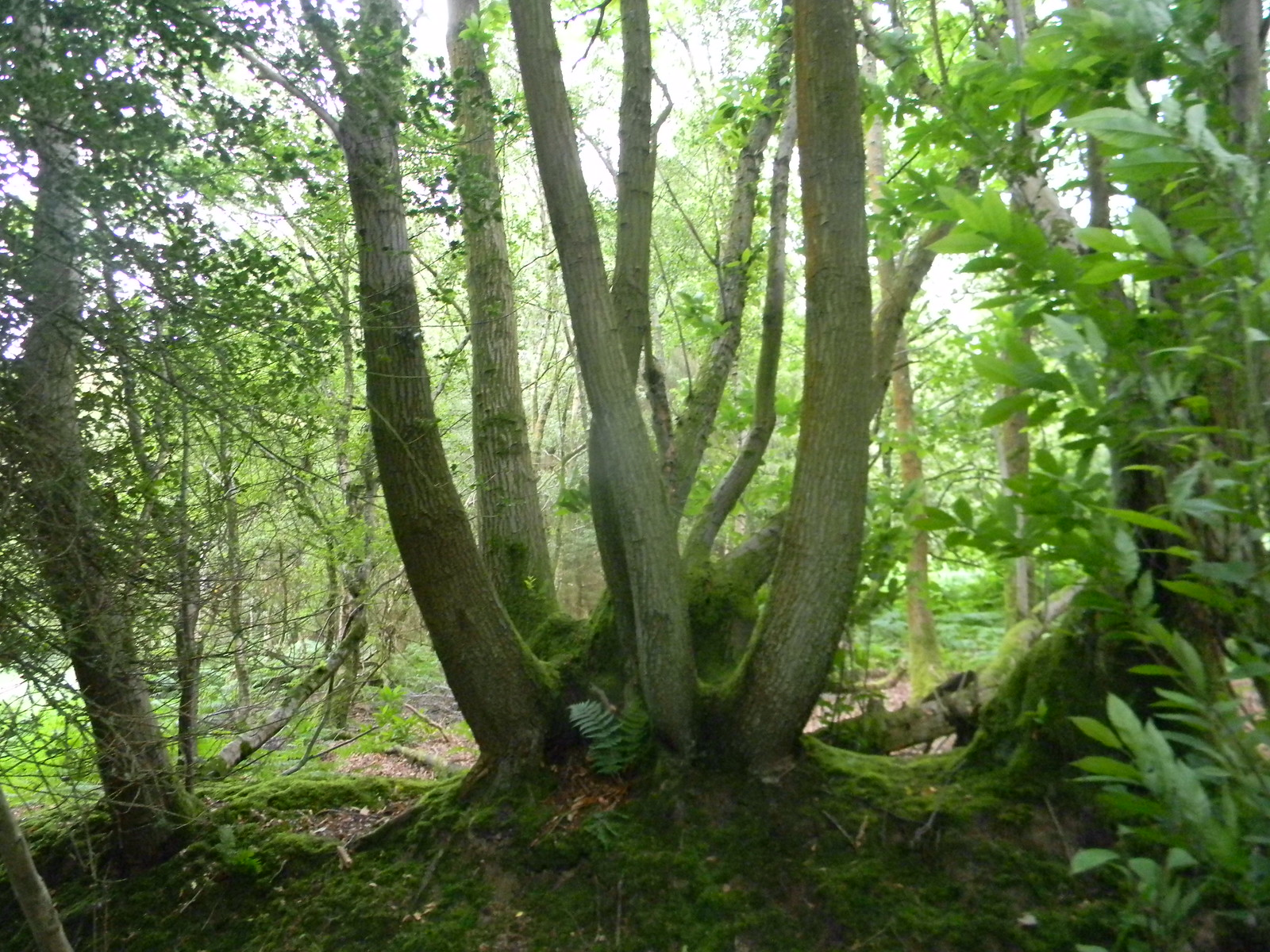 Coppiced tree Horsted Keynes to Forest Row