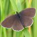 Ringlet (Aphantopus hyperantus) by celerycelery
