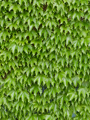 leaf, plant, green, produce, groundcover,