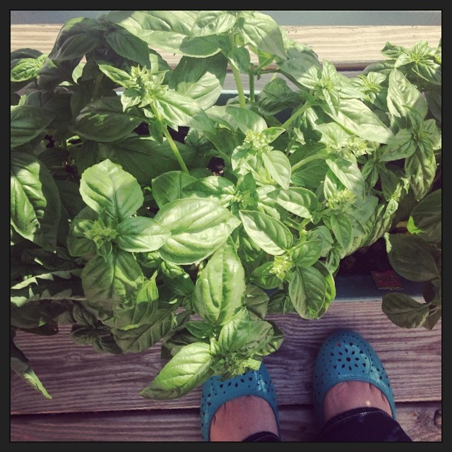 Who wants pesto? #basil #mygarden